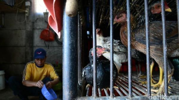Wah! Beternak Ayam Bisa Bantu Usir Nyamuk Pembawa Virus Malaria