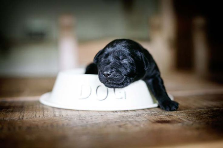 Aww.......cutest little black lab puppy ever <3 | Pet Photography | Dog | Puppies | | Labrador Retriever |