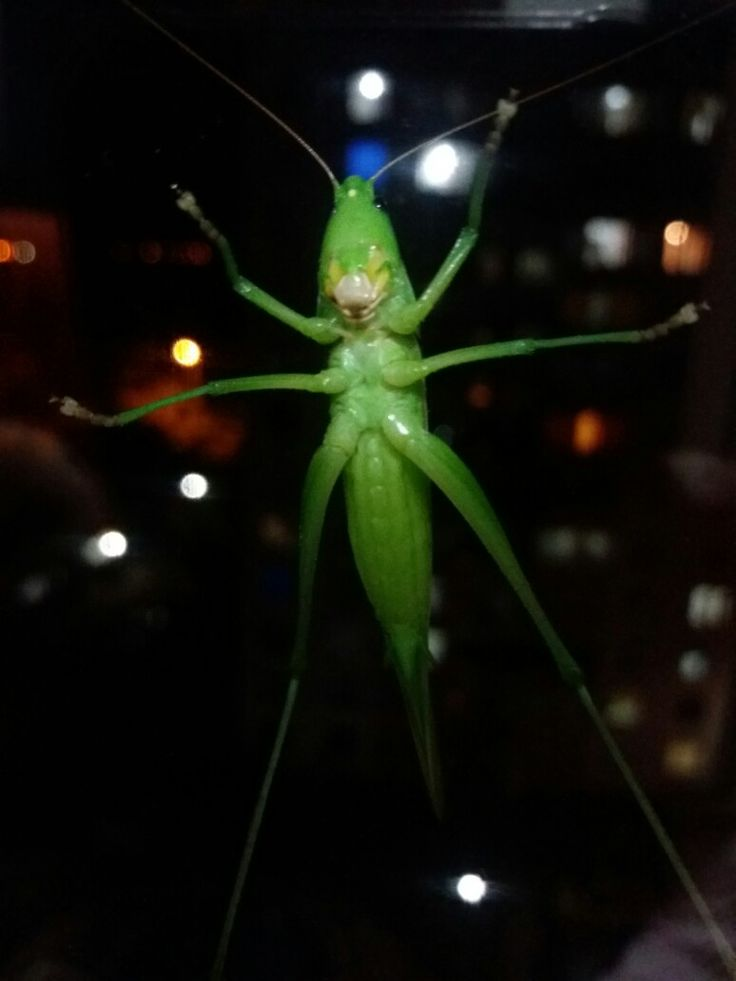 Grillo o alien??