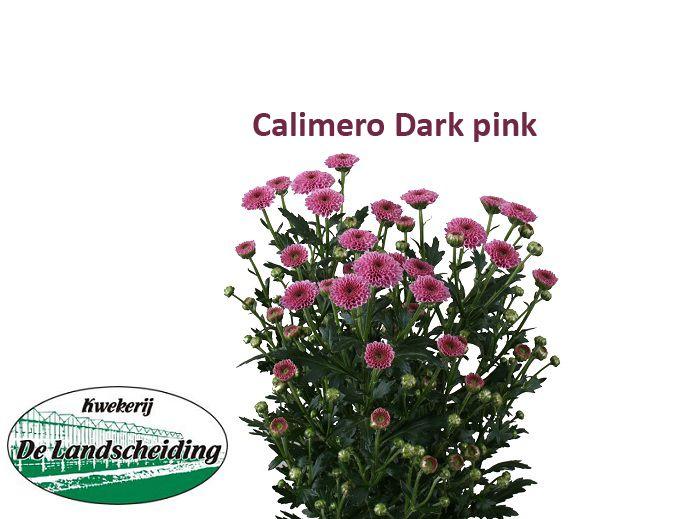 Calimero dark pink