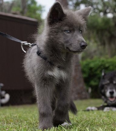 Although this is a beautiful pup, I'm not a fan of wolf hybrids, which is exactly what this is. I've worked with wolves enough to know they cannot be trained like a domesticated dog - I know this because I'm a dog trainer of German Shepherds. PLEASE do your research before you bring a dog breed into your home that won't be a good fit. | Dillon - Blue Bay Shepherds ♥