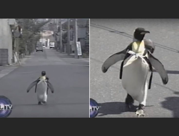 Best Penguins Random Houses Images On Pinterest Penguins - Penguin in japan happily walks to local fish market everyday for lunch