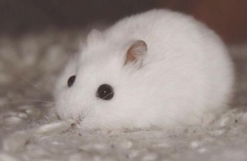 Sweet hamster. …
