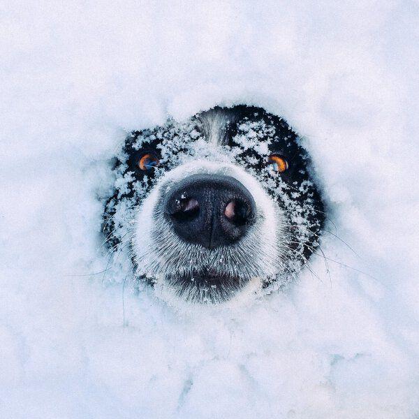 un chien sort sa tête de la neige