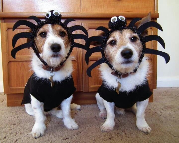 These two don't look to thrilled to be dressed up, especially as creepy spiders.