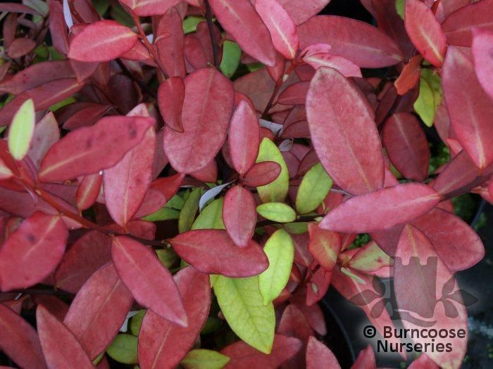 Pseudowintera Colorata 'Red Glow' from Burncoose Nurseries