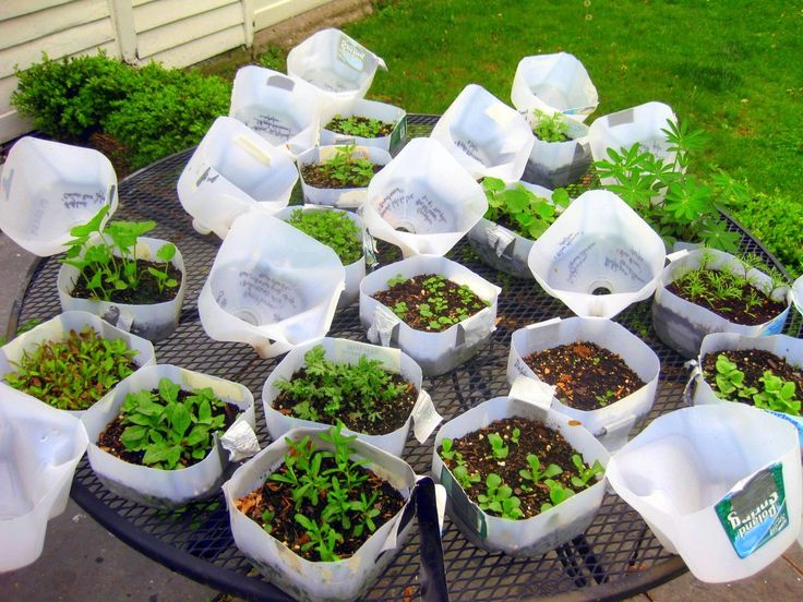 Start your summer gardening in January by germinating seeds in milk jugs. Courtesy of A Garden for the House, become a gardening pro and feel good about recycling plastic jugs and turning them into productive miniature greenhouses.
