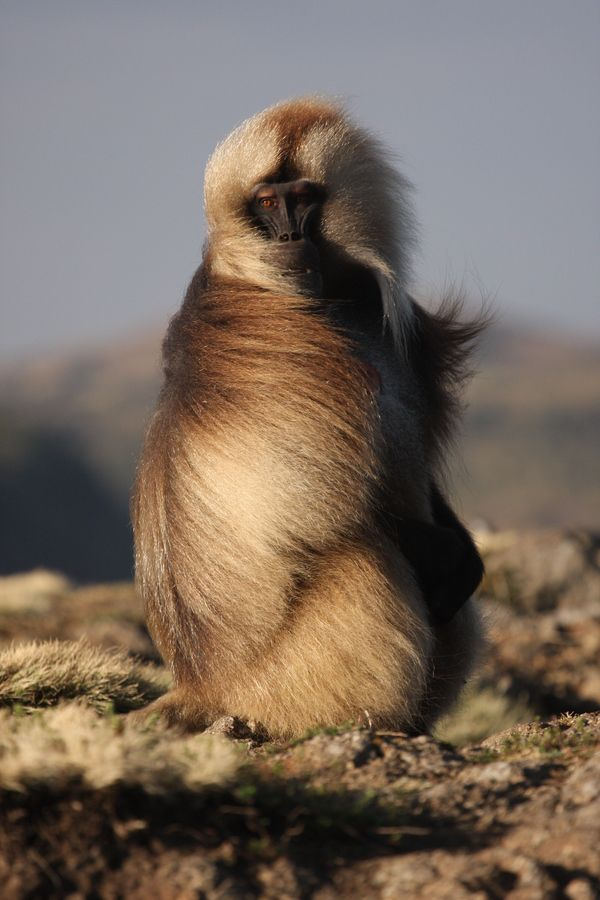 The Gelada baboon. Once, there where 5 species total, found throughout the whole of Africa. Now, only one remains, and this includes this Guy.........