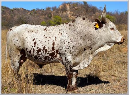 White and brown Nguni stud bull