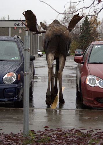 Moose on the street in Alaska. *shrug* Pretty common.