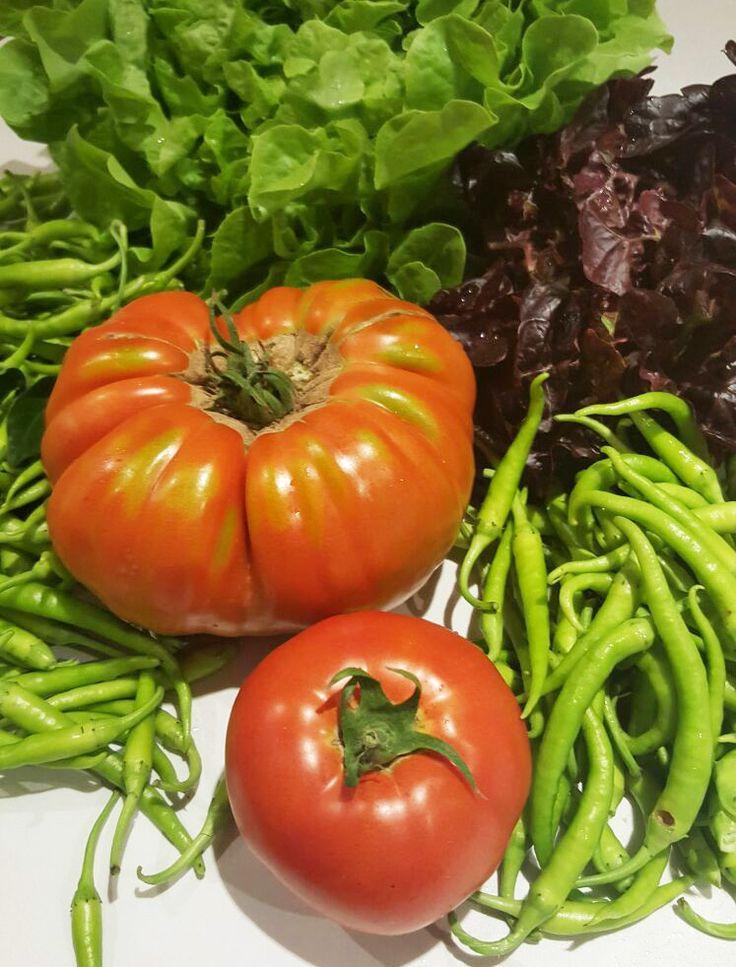 La huerta del Restaurante Aitzgorri sigue dando sus frutos en verano. Agosto es la mejor época del tomate, qie podrás degustar en el Restaurante eligiendo el plato de Ensalada de Tomate natural.  #tomates #huerta #verano #restaurante