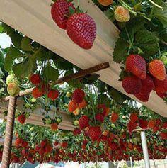 Guía: para el cultivo de Fresa : .: Hydro Environment .:
