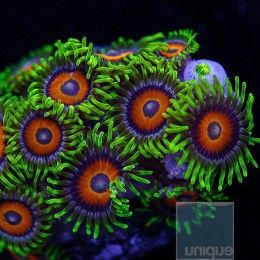 """Zoanthus sp. - """"Eagle Eye"""" Zoanthid  - 5-8-Polyp Stock Frag"""