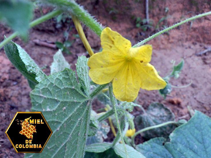 Otros cultivos que se polinizan con abejas:  • Cítricos,  • Olivos (aceitunas)  • Ajo  • Uvas  • Cebollas  • Ciruela  • Calabazas  • Melones  • Sandias  • Pepinos  • Girasol, etc