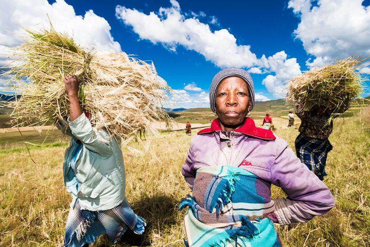 Wheat harvest at Semonkong, Lesotho. April 2014