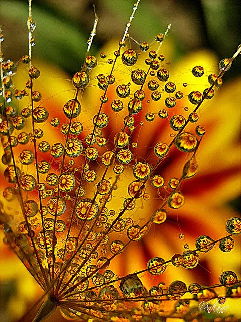 Water drops on a dandelion skeleton.  Love the flower reflected in all the drops.