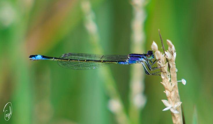 """""""Perfecto Equilibrio"""" Macro fotografía de este increíble insecto la libélula. En otras ocasiones ya la había fotografiado y a pesar de que no dispongo de un objetivo macro ($$$) con enfoque AF automático y tengo que enfocar a mano y ojo, ésta es de las que mas nítidas han salido. Ya sabéis que podéis compartir las fotos para que lleguen a mas gente. A Disfrutarla. Saludos, www.darylphoto.com #naturaleza #fotografiamacro #fotografianaturaleza #fotografialicante #fotografia #insectos"""