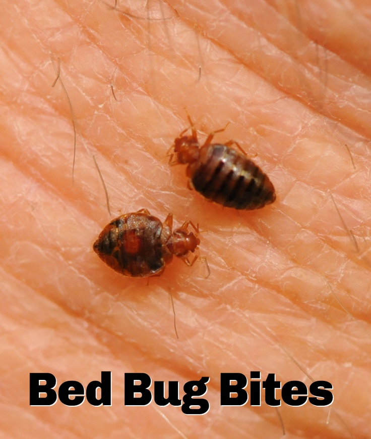 47 Best Bed Bugs Images On Pinterest Bed Bugs Pest