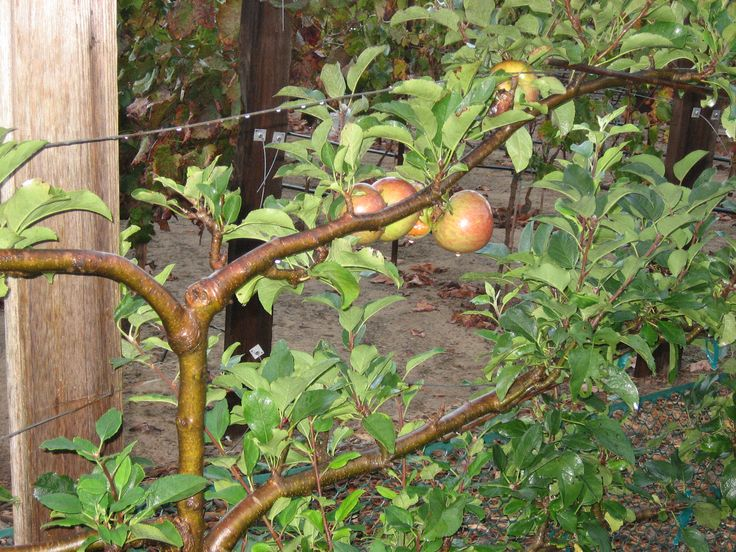 MALUS domestica 'Mcintosh' espalier - Winchester Gardens