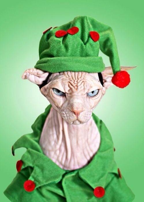 Sphynx cat wearing green elf outfit/ costume #hairless Santa's helper #christmas holiday spirit