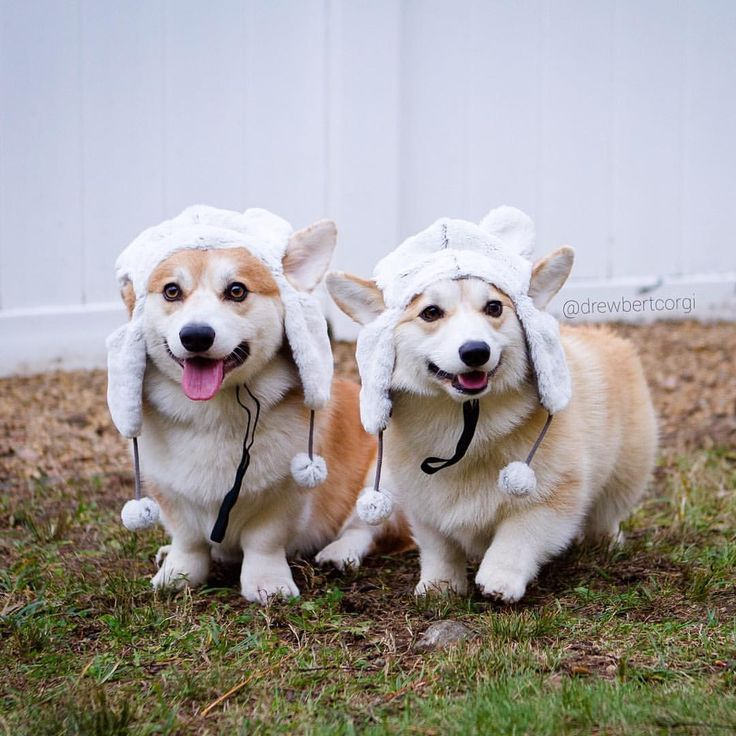 Today calls for a double dose of cuteness. #Drewbert #Hatbert #corgi