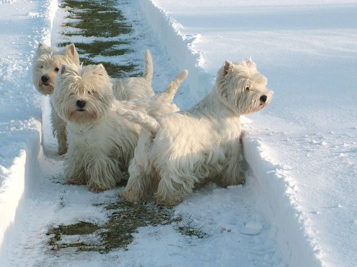 1842 best Dogs images on Pinterest | Pets, Westies and Dog cat