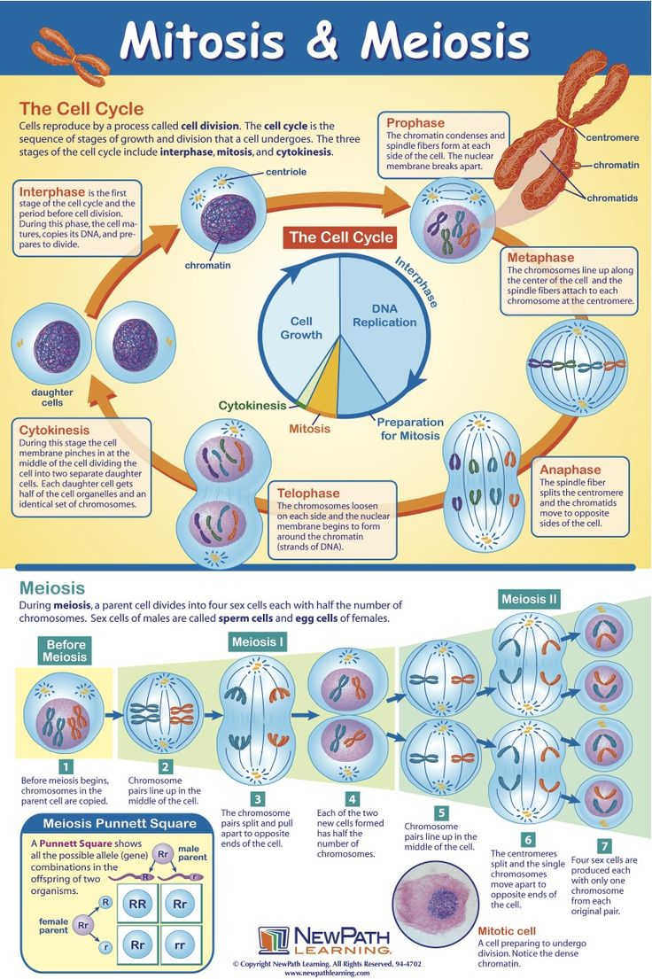 an introduction to the process of cell division called mitosis
