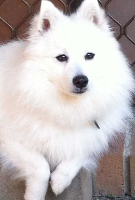 Japanese Spitz. Almost as gorgeous as Samoyed but not as happy looking. :-)