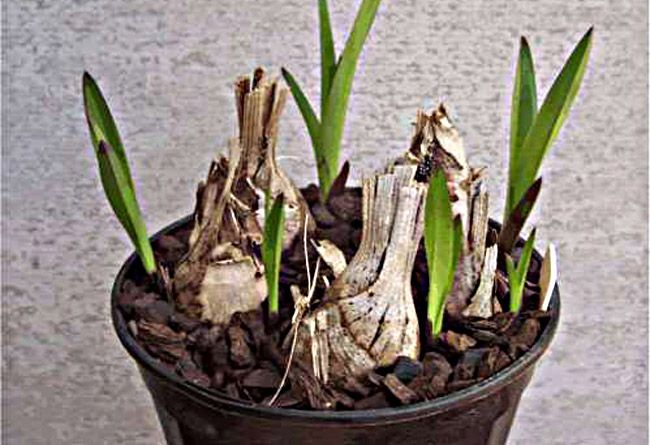 Orchid Backbulbs Sprouting Cymbidium Orchids Orchids Orchids Garden