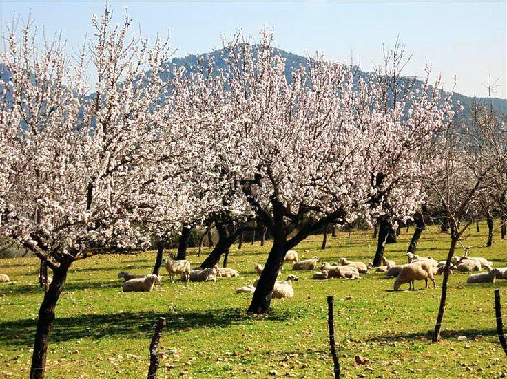 Almendros en flores en Alaró, Mallorca Spring in Alaró