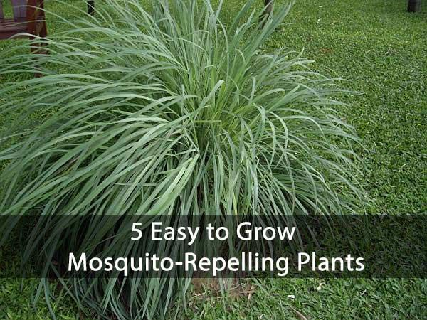 5 easy to grow mosquito repelling plants to plant this