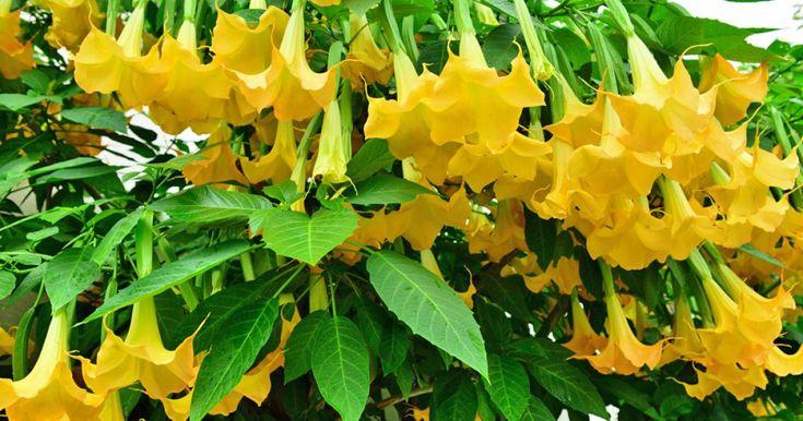 Die Engelstrompete ist eine der populärsten Kübelpflanzen und ein echtes Blütenwunder. Mit diesen Pflegetipps wird die Brugmansia auch auf Ihrer Terrasse zum Hingucker.
