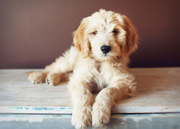 12 Medium Size Dogs That Just Might Be Perfect For You Dog Breeds That Dont Shed Dog Breeds Medium Dog Breeds