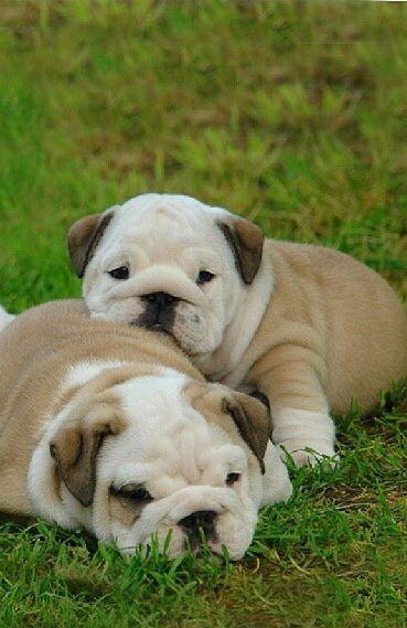Puppies #bulldog #puppy #dog #dublindog