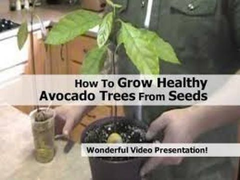 how to grow avocado trees from seeds on the first try - Grow An Avocado