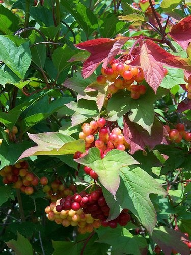 Viburnum trilobum 'Red Wing' Amerikanskt olvon. Höjd: 2 meter. Växtzon 5(6). Sorten har fått sitt namn efter den tvåfärgade nytillväxten som är rödbrun och grön och liknar fjädrarna i slutet av en pil. Blommar i juli med stora, flata, vita blommor som följs av röda bär på hösten. Även bladen får en mycket vacker, röd höstfärg. En sort som har något för varje årstid. Trivs i väldränerat läge i sol-halvskugga. Rydlinges text