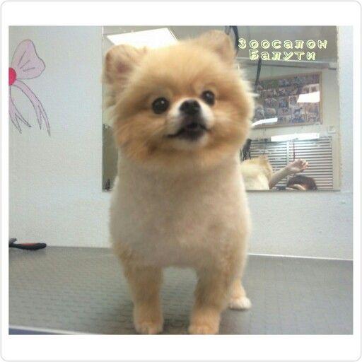 Стрижка шпица в жару. Улыбка малыша, свыше всех похвал) Груминг шпица   и др. малышей в груминг салоне ''Балути''. #poms #pom #балути #pomeranian #spitz #pomeranians #dogs #balyti #puppiesforsale #померанскийшпиц #шпиц #breeder #dreams #puppiespoms #йорк #orangepom #sweetdog #bestdog #instadog#lovely #smallpom #doglife #zoosalonbalyti #zoosalon #groomingdog #grooming #моялюбимаясобака #мойпитомец  #мойзверь
