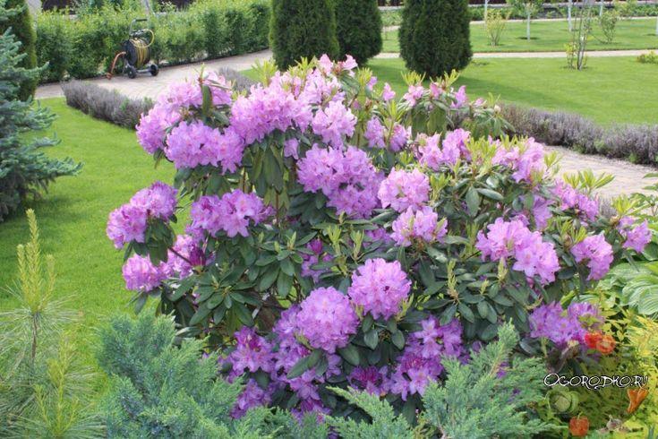 Рододендрон – посадка и уход в открытом грунте, уход весной, размножение и его основные способы, пересадка, обрезка рододендрона, зимостойкие сорта