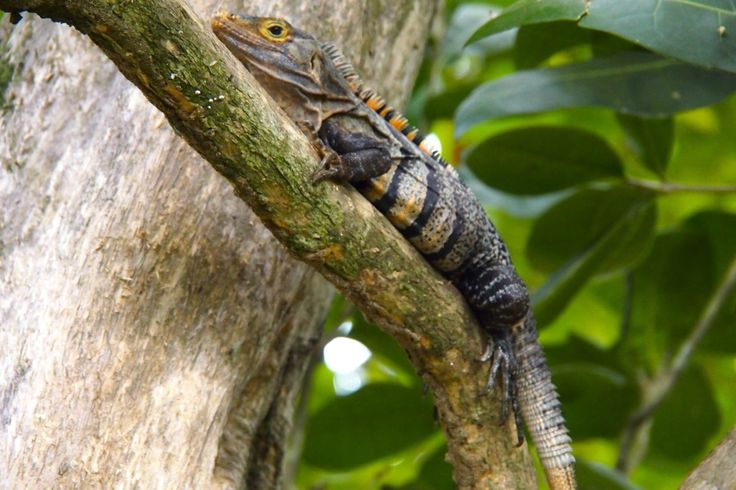Black Spiny-Tailed Iguana in Manuel Antonio, Costa Rica   SBPR