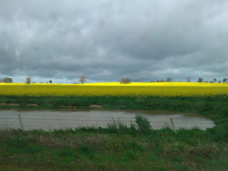 Spring Canola Fields. Near Yarrawonga, Victoria  Submitted by: @CAPayne84  17/09/2012