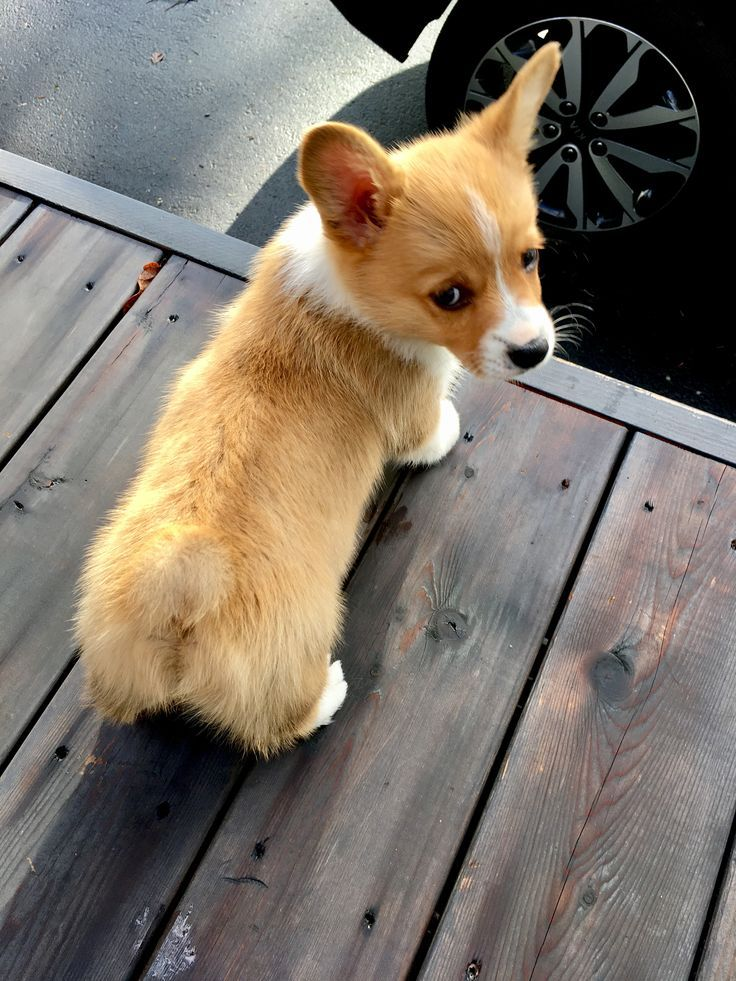 Corgi Welshcorgi With Images Cute Baby Animals Welsh Corgi