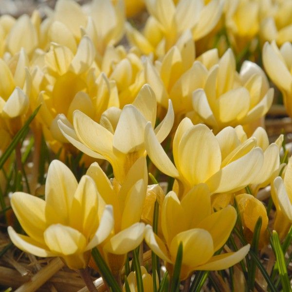 Die Blüten des Krokus 'Romance' bleiben recht klein, sind dafür aber umso zahlreicher und haben eine einzigartige Form. Seine warme buttergelbe Farbe ist im Frühjahr immer wieder eine willkommene Überraschung. Pflanzzeit ist im Herbst - online erhältlich bei www.fluwel.de