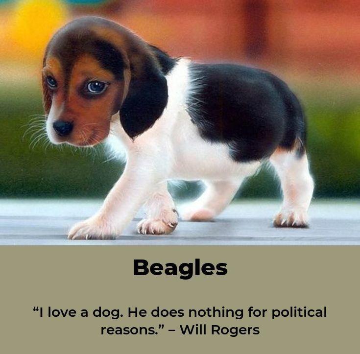 Beagle Puppy Beagleoftheday Beagles Tips Beagle Beagle Puppy Dogs
