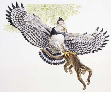 Esta águila se abalanza en picada desde la copa de un árbol para atrapar a un mono en una rama. Con un solo apretón de sus poderosas garras lo aplasta hasta matarlo. El águila arpía vive en los bosques tropicales de Centro y Sudamérica, donde es...