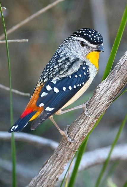 Spotted Pardalote (Pardalotus punctatus). One of the smallest of Australian birds. photo: Greg Miles.