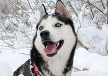 Сибирский Хаски - все о породе, история породы, лечение, питание, щенки Сибирский Хаски - House-Dog.Ru