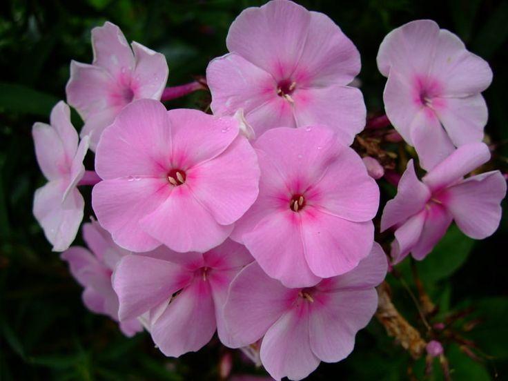 Phlox paniculata 'pink gown'