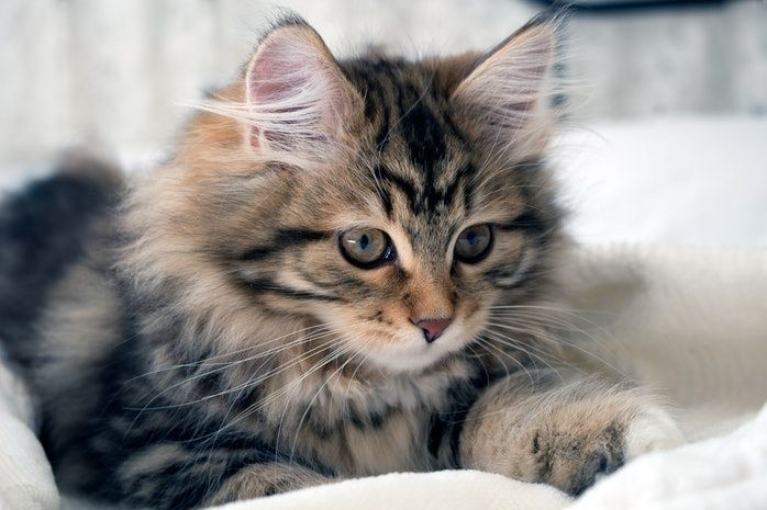 9 Cat Breeds That Don T Shed Much Catbreeds 9 Cat Breeds That Don T Shed Much For People Who Are Sensitive Cats That Dont Shed Cat Breeds Long Hair Cat Breeds