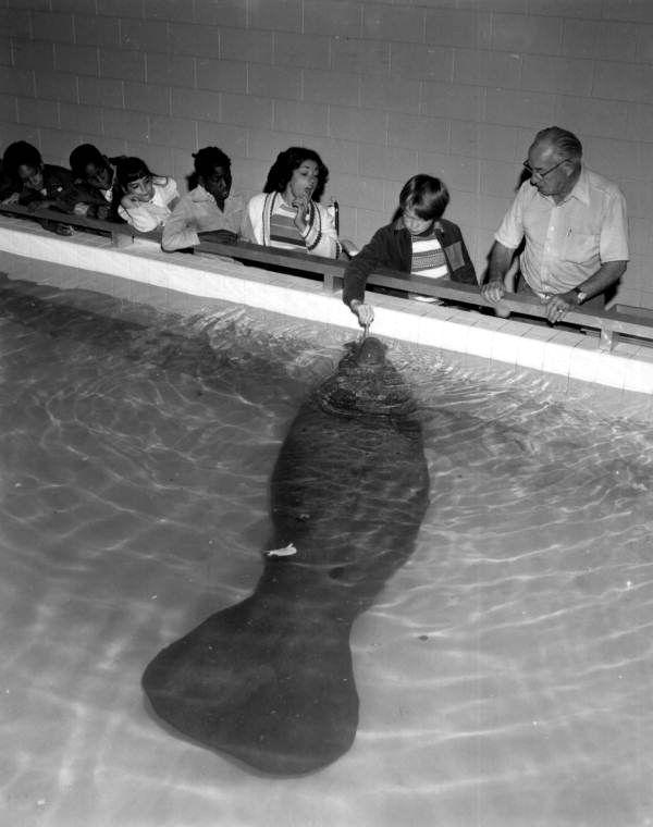 Florida Memory - Spectators watch a boy feeding Snooty the manatee at the South Florida Museum - Bradenton, Florida