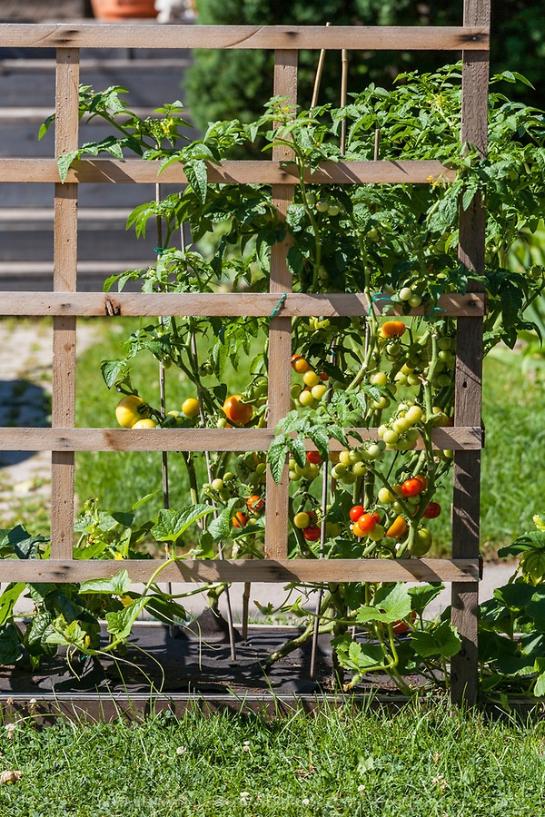 Nice Zucchini Trellis Ideas Part - 14: Tomaotes And Zucchini Growing On A Wooden Trellis In An Urban Front Yard  Garden.